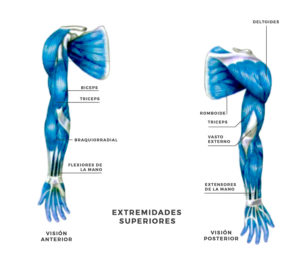 musculos extremidades superiores